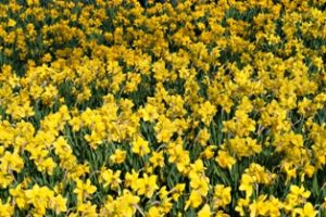 Wye Mountain Daffodil Festival and More